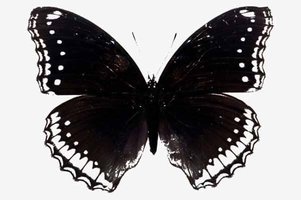 Bướm đen bay vào nhà là điềm tốt hay điềm xấu cho gia chủ