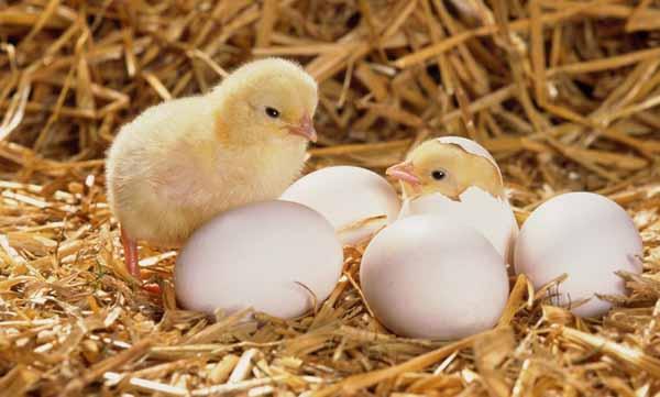 Tìm hiểu Trứng gà 2 lòng đỏ có tốt không